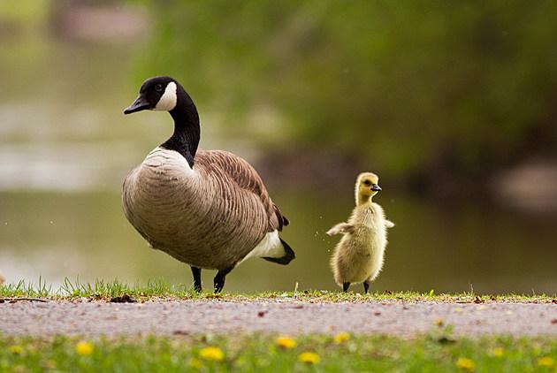 Goose family in spring