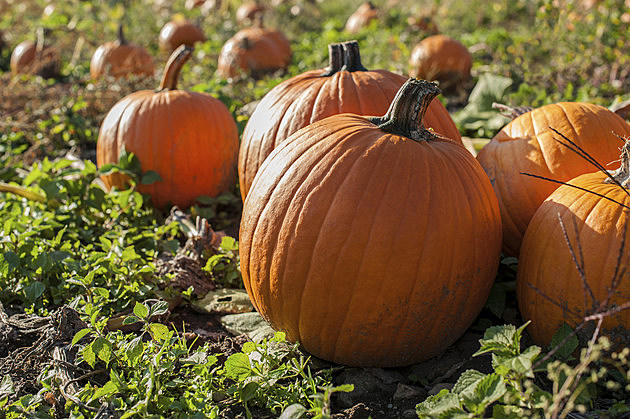 Caution: Leaving Out Pumpkins Could Bring Unwanted Visitors | The Rock of Rochester